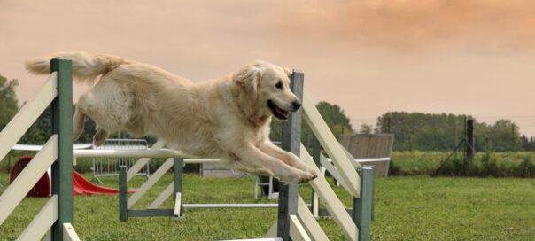 dressage et sport canin